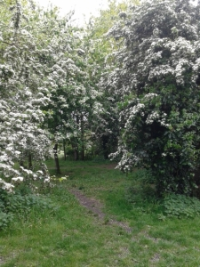 may day hawthorn tree