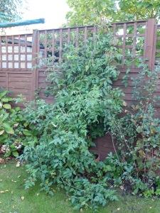 triffid tomato plant