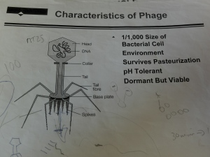 The dreaded evil phage, waiting to kill your cheese